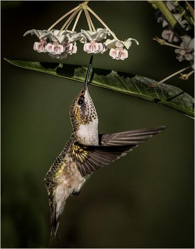 Hummingbird Stretch by Ron Szymczak - Award Class A Prints - January 2020