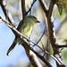 Yellow-breasted Flycatcher_Tolmomyias flaviventris_Ascanio_Siete Mares_DZ3A9779