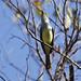 Brown-crested Flycatcher_Myiarchus tyrannulus_Ascanio_Siete Mares_DZ3A9701