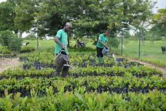Farmers watering tree seedlings in a communally owned land