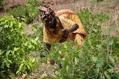 Saparoug prunning shrubs on her farm