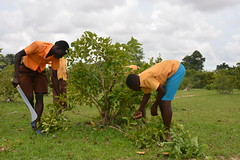 Members of an FMNR school club prunning trees