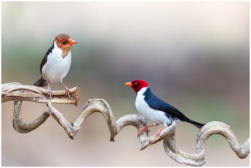 Yellow-billed cardinal with juvenile - Geelsnavelkardinaal metr jong (Paroaria capitata) ...
