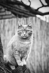 Mačak bez čizama...