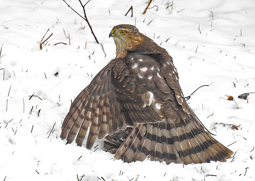 Sharp-shinned Hawk - Irondequoit - © Candace Giles - Feb 27, 2020