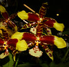 2020 Orchids in Focus: 68th Annual Pacific Orchid Exposition, Rossioglossum Rawdon Jester 'Great Bee' hybrid orchid 2-20