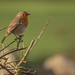 Robin perched  (Erithacus rubecula)