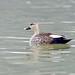 Indian Spotbilled Duck