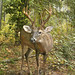 White-tailed deer 05