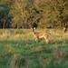 White-tailed deer 03
