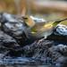 European Greenfinch 2020-02-15_04