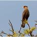 Southern crested Caracara - Kuifcaracara (Caracara plancus) ...
