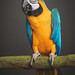 Brian The Macaw