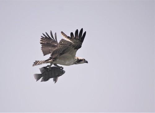 Osprey with it's kill