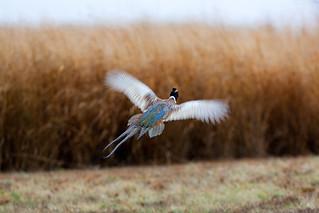 South Dakota Luxury Pheasant Lodge - Gettysburg 156
