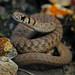 Midland Brownsnake (Storeria dekayi wrightorum)