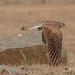 A Common Kestrel in Flight