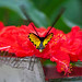 common birdwing (Troides helena) - Kuala Lumpur Butterfly Park - Kuala Lumpur, Malaysia - Jan 2020