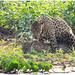 Parende jaguars (Panthera onca) in de Pantanal in Brazilië ...