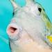 Longhorn Cowfish portrait - Lactoria cornuta
