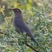 An Indian Blackbird