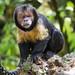 Capuchin monkey posing on rotten wood