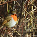 Early morning Robin. (in Explore)