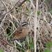 Meadow bunting (Emberiza cioides cioide, ホオジロ)