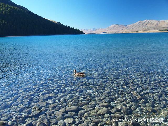 野鴨優游地在蒂卡波湖Lake Tekapo游泳