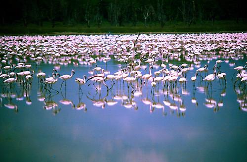 Nakuru, The Lake of 1,000,000 Flamingos