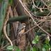 Bull-headed shrike (Lanius bucephalus, モズ)