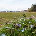 Henbit dead-nettle (Lamium amplexicaule, ホトケノザ) and Persian speedwell (Veronica persica, オオイヌノフグリ) flowers