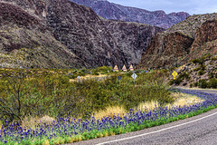Bluebonnets on the River Road, Big Bend Ranch State Park
