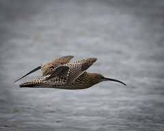 Curlew in flight at Ogston reservoir