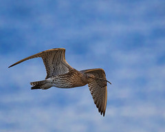Curlew at Ogston reservoir