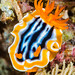 Nudibranch - Chromodoris magnifica