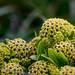 Azorella polaris (Pūnui, Macquarie Island Cabbage)