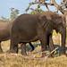 Afrikanische Elefanten / African Bush Elephants