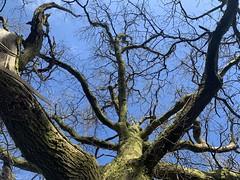 Photo of Oak from Below