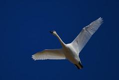 Tundra Swans-6 2020 FLK