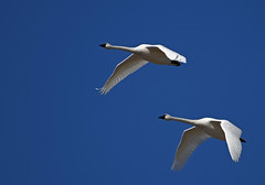 Tundra Swans-8 2020 FLK