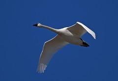 Tundra Swans-9 2020 FLK