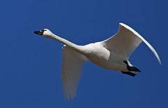 Tundra Swans-14 2020 FLK