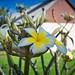 Yellow & White Plumeria
