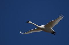 Tundra Swans-15 2020 FLK