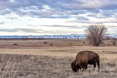March 1, 2020 - Bison in front of the Mile High City. (Tony's Takes)