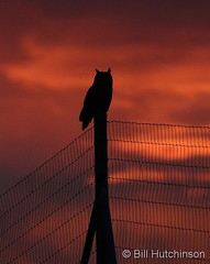 March 1, 2020 - A great horned owl awaits sunrise. (Bill Hutchinson)