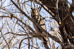 March 7, 2020 - Long eared owl keeping close watch. (Tony's Takes)