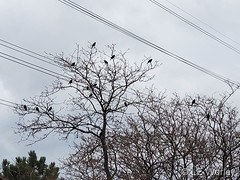 March 1, 2020 - Blackbirds hanging out in Thornton. (LE Worley)