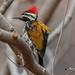 A Common Flameback Woodpecker